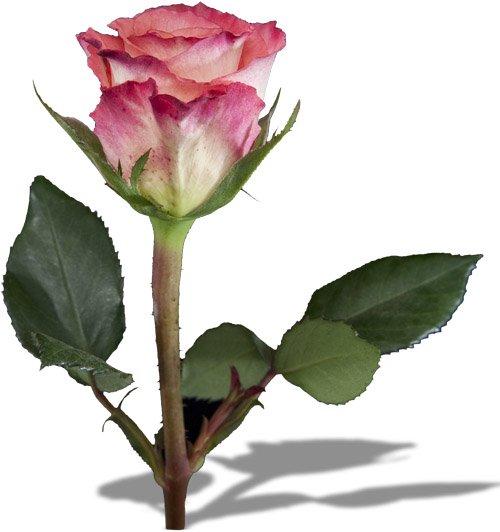 rozsa1